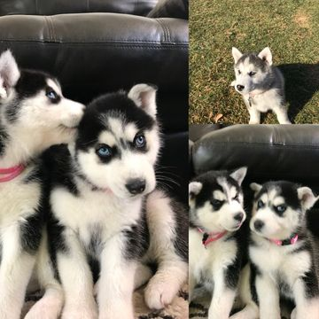 Litter Of 3 Siberian Husky Puppies For Sale In East Wenatchee Wa