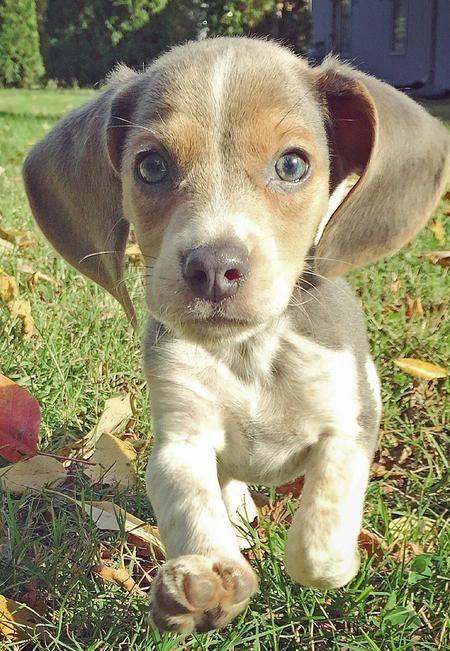 Bleu Steel Better Known As Bleu Is A Rare Blue Beagle He Is