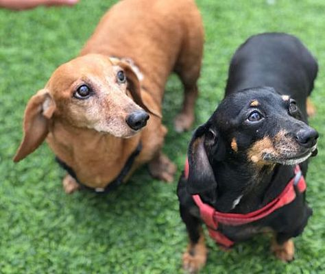 Los Angeles Ca Dachshund Meet Daisy And Sassy Bonded Pair A