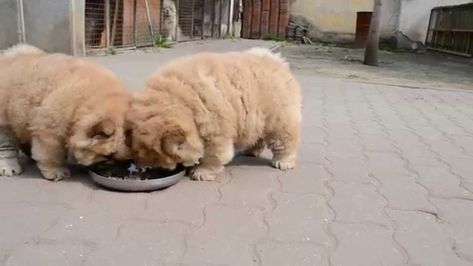 Chow Pups Feeding Youtube Chow Chow Dog Breed Info Pictures Traits