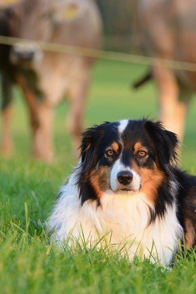How To Train Your Australian Shepherd Dog To Herd Cattle