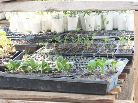Seedlings in the greenhouse.