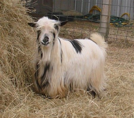 Miniature Silky Fainter goat. (My dream goat, and we're about half-way there with our breeding program)