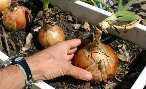 Soil depth for onions in containers? - Container Gardening Forum - GardenWeb