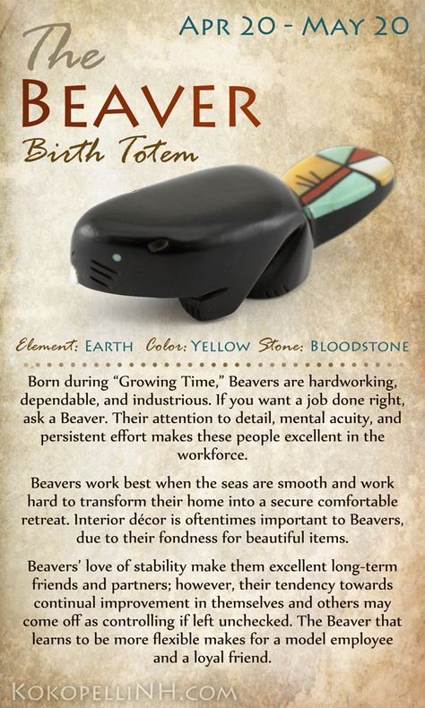 Beaver Birth Totem Animal - Some Native Americans believe that those born between April 20 and May 20 are represented by the Beaver. These types are industrious and dependable, making great workers as well as friends. Read on to learn more about the science and culture of this fabulous animal or to find YOUR birth totem.