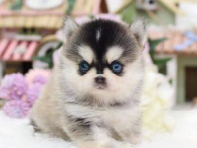 All Puppies For Sale Pomsky Puppies Puppies Puppy Breeds