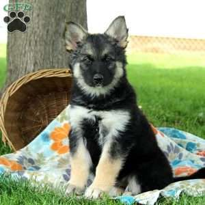 German Shepherd Mix Puppies For Sale Gsd Mix Shepherd Mix