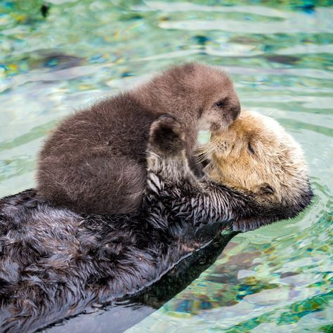 Watch The Sweet Moment This Newborn Otter Falls Asleep on Her Mama's Fluffy Belly