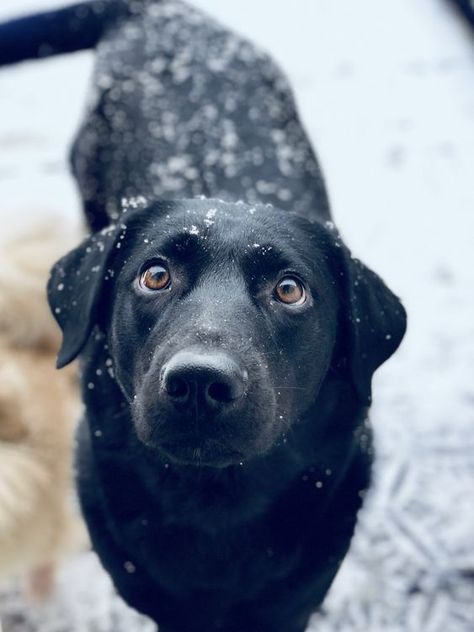 Pin By Edward Keeder On Black Lab S With Images Clever Dog