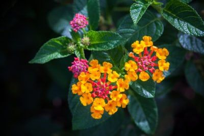 Can You Transplant Lantanas Tips For Moving A Lantana Plant Lantana Plant Lantana Lantana Tree