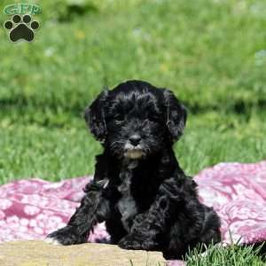 Cavapoo Puppies For Sale Animaux