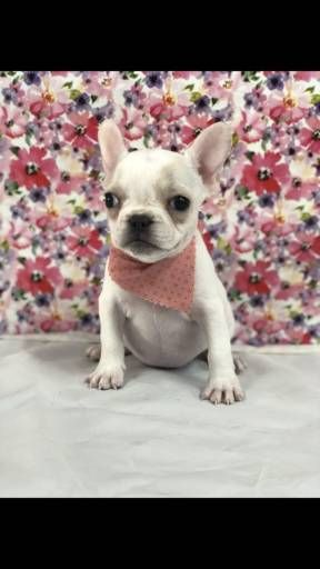 Find Your Dream Puppy Of The Right Dog Breed At French Bulldog