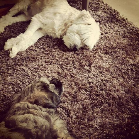 Pin On Tibetan Terriers