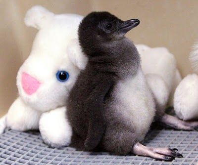 A two-week-old Little Penguin rests against a stuffed animal in an incubator at the Cincinnati Zoo <3