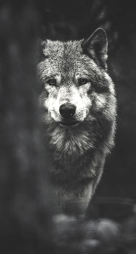 Cool Pictures Of Wolves Yahoo Image Search Results Wolf Pictures Wolf Wallpaper Dog Wallpaper