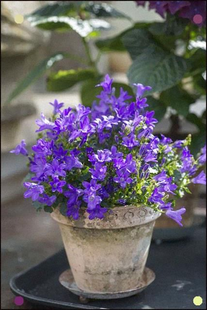 Campanula Gratitude Flower Pots Purple Garden Container Gardening