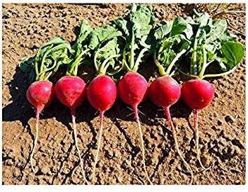 Radish Seeds 1,000 Crimson Giant Radish Seeds