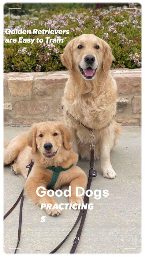 Preppy Dog Leash Golden Retriever Gift Golden Retriever Leash Blue Dog Leash