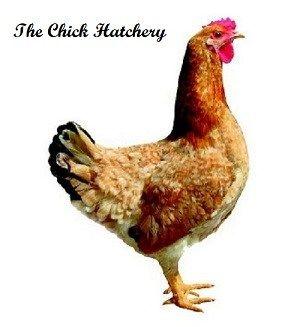 Calico Princess | Chicken breeds | Chicken breeds, Chickens