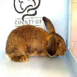 A4502031 Is An Adoptable American Fuzzy Lop Rabbit In Agoura