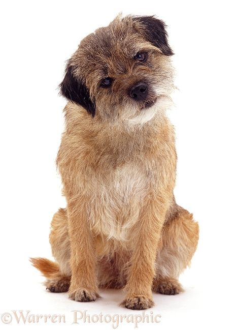 Photograph Of Border Terrier Rights Managed White Background Dog