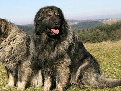 Illyrian Shepherd Dog Sarplaninac Or Yugoslavian Shepherd Dog