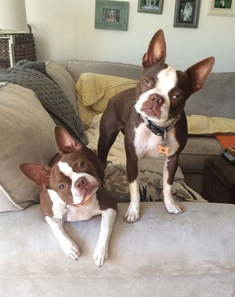 The Boston Terrier 12 Heartwarming Photos Of The Gentleman From