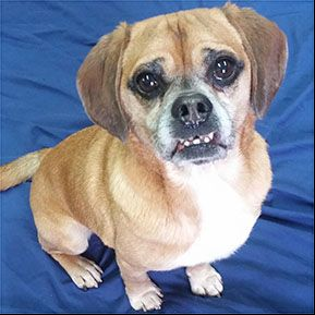 Puggle Dog For Adoption In Shreveport La Adn 760835 On