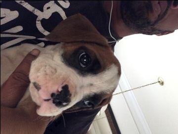 Litter Of 3 Boxer Puppies For Sale In Manassas Va Adn 38333 On