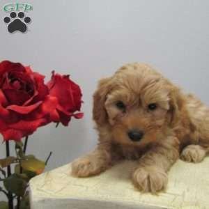 Mini Goldendoodle Puppies For Sale Mini Goldendoodle Puppies Goldendoodle Puppy Mini Goldendoodle