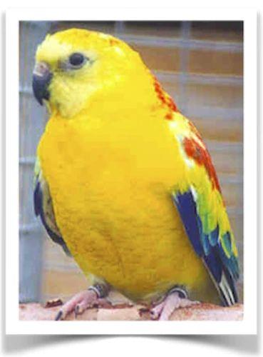 Pet Birds For Sale The Finch Farm Finches Cockatiels Parakeets Parrots Doves Lovebirds Birds For Sale Buy Birds O In 2020 Pet Birds Birds For Sale Parakeet