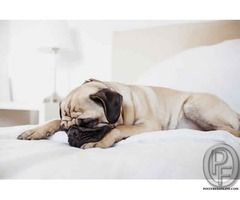 Pug Puppies Available In Mumbai Maharashtra India In Pet Animals And Care Category Under Budget Check With Seller Pug Puppies Puppies