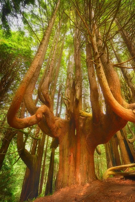 unusual forest on the northern Mendocino Coast is accessible to the public for the first time in more than 100 years. Take a peek. Weird Trees, Mendocino Coast, Mendocino California, California Usa, Twisted Tree, Magical Tree, Unique Trees, Old Trees, Tree Roots