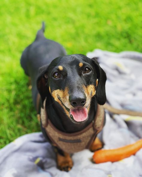instagram: frankytheminidachy Ladies... Come at me! #Doggo #handsomeboy #TakeMeOutforawalk #dachshund #minidachshund 😜😉🐶🐾  __________________________________________ #dachshundsofshropshire #minidachshund #minidoxie #dachshundappreciation #sausagedog #dachshund #dogsofinstagram #instadog #dachshundsofinstagram #instapuppy #puppiesofinstagram #doxie #weinerdog #petsofinstagram #doglover #dogoftheday #dailyfluff #ilovemydog #dachshund_feature