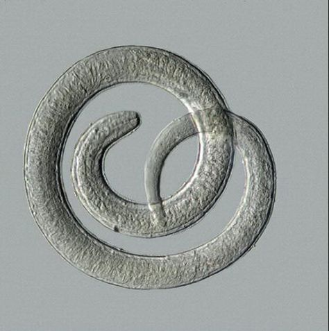 sisakos pinworms