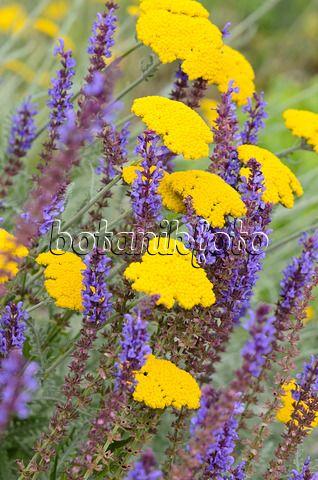 534098 Fernleaf Yarrow Achillea Filipendulina And Woodland Sage Salvia Nemorosa Salvia Plants Image
