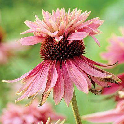 Echinacea purpurea 'Doubledecker' - 12 ideas from The New Sunset Western Garden Book - Sunset