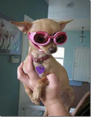 Doggles Chihuahua Chihuahua Love Cute Baby Puppies