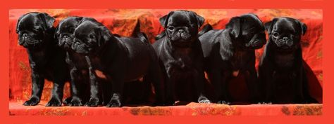 Pug Facebook Cover Photos For Your Timeline. Cute Black Pug Puppies