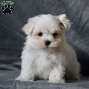 Maltese Puppies For Sale Maltese Breed Profile Maltese Puppies