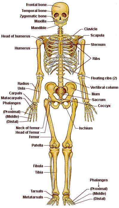 Sistema Oseo Indicando Sus Partes En Ingles Huesos Del Cuerpo