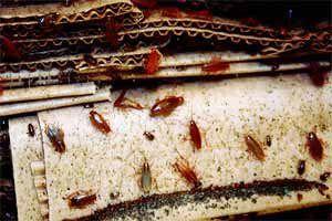Como Acabar Con La Plaga De Cucarachas Chiquitas Como Eliminar Cucarachas Pequenas En Casa Chiquitas Que Hacer