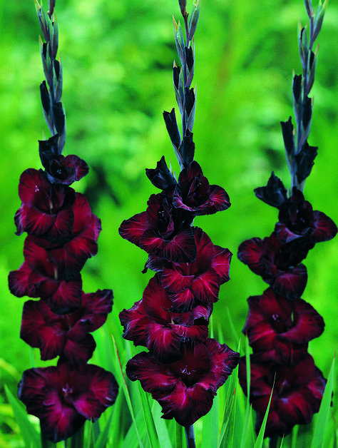 """Gladiolus """"Black Star"""" Follow our unique garden themed boards at…"""