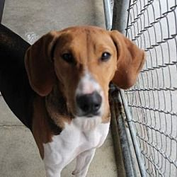 Hilton Head Sc Hound Unknown Type Meet Okatie A Pet For Adoption With Images Pets Animal Welfare Quote Pet Adoption