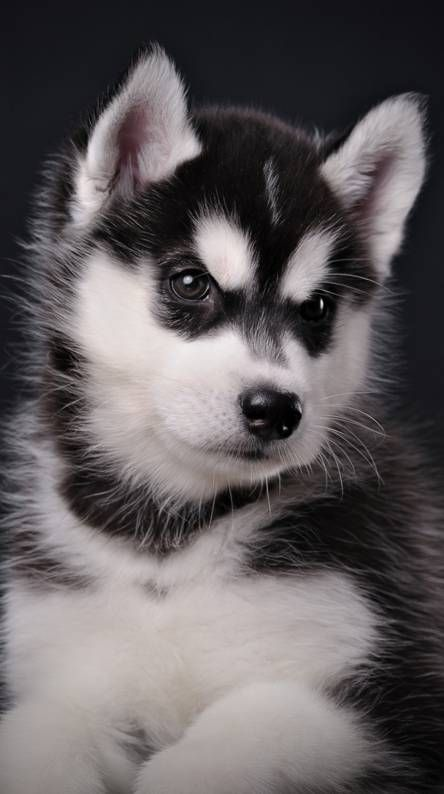 Self Care Products For Men How To Be In Good Health Puppy Wallpaper Cute Husky Puppies Cute Puppies