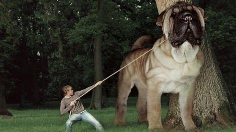 Top 10 Biggest Dog Breeds Big Dog Breeds Big Dogs Large Dog Breeds