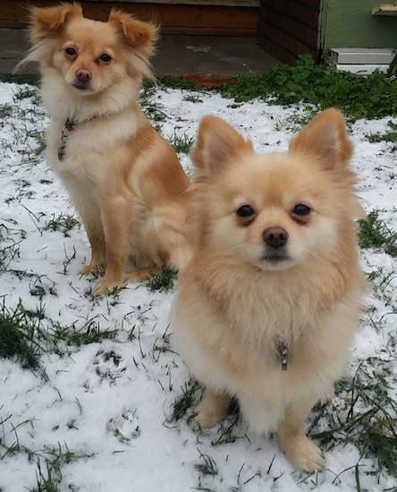 Two Red And Cream Pomchis Are Sitting On A Grass Surface That Has