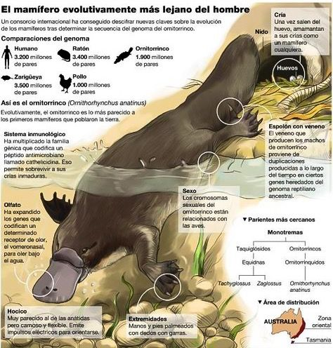 Infografía Del Ornitorrinco Ornithorhynchus Anatinus Infografia De Animales Informacion De Animales Ornitorrinco