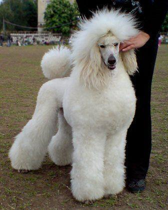 White Standard Poodle Jasenak World Wide Poodles In
