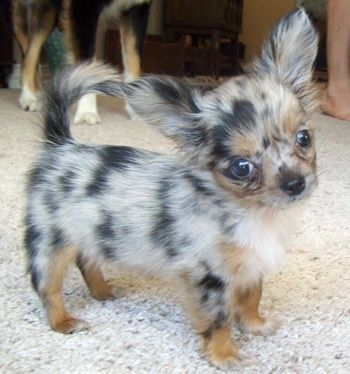 long hair chihuahua puppy.. isnt it just adorable. Never seen one with these colors either